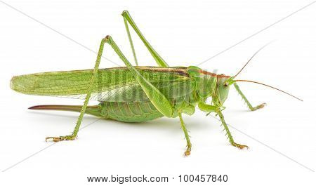 Green Grasshopper Isolated On White