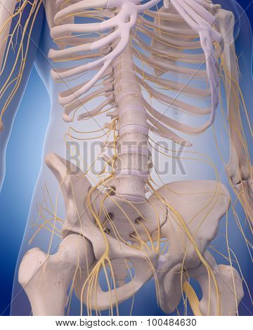 medically accurate illustration - nerves of the  abdomen