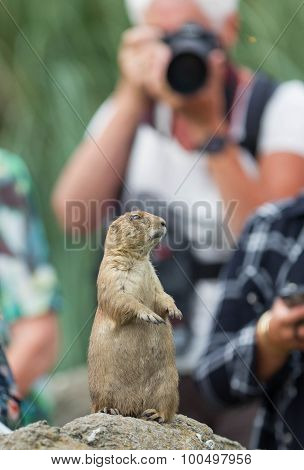 Black-tailed Prairie Dog  (cynomys Ludovicianus) Playing For Model
