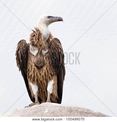 Adult Condor