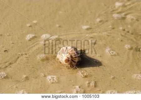Seashell 1