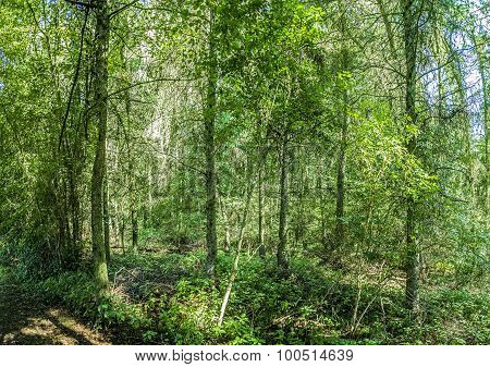 Wild Forest At The Island Of Usedom