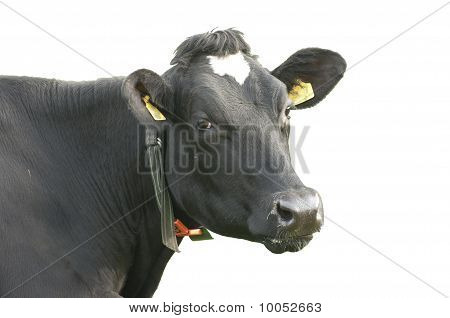 funny cow isolated on a white background poster