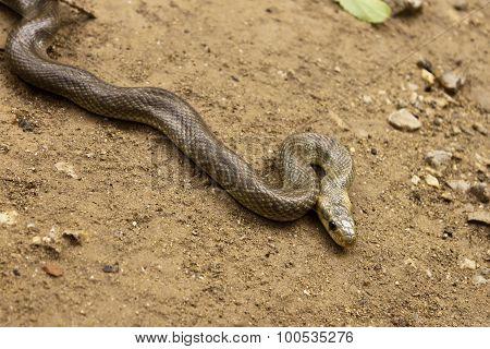 Natrix Maura Snake