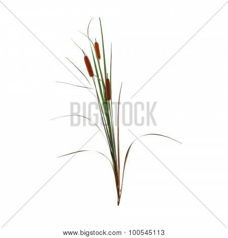 reed cane grass