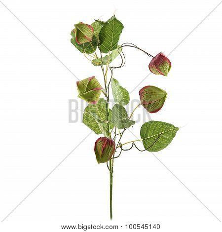 Physalis alkekengi plant