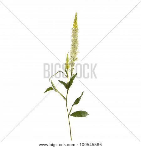 Textile Speedwell flowers