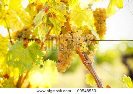 Grape Riesling - organic grape