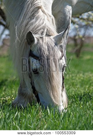 Portrait of large grey  Percheron horse