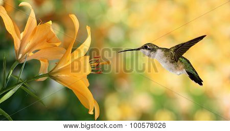 Hummingbird (archilochus Colubris) Hovering Next To A Yellow Lily Flowers