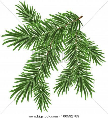 Green lush spruce branch. Fir branches. Isolated illustration in vector format poster