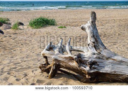 Snag On Wild Sandy Beach Of Baltic Sea