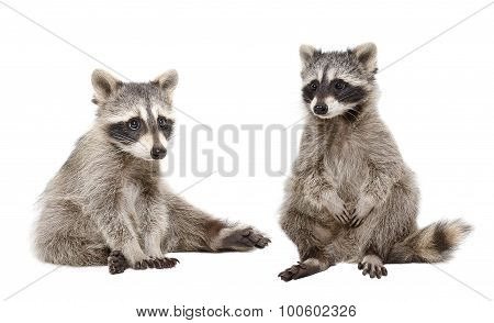 Two raccoon sitting together