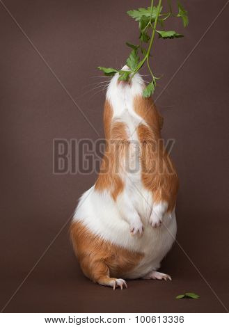 Guinea-pig Is Eating Verdure Standing On Back Foots