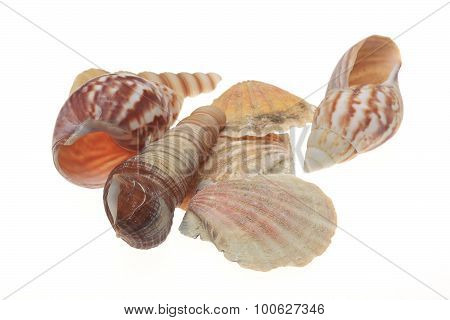 Empty Conch Shell For Decorative Purposes, On A White Background