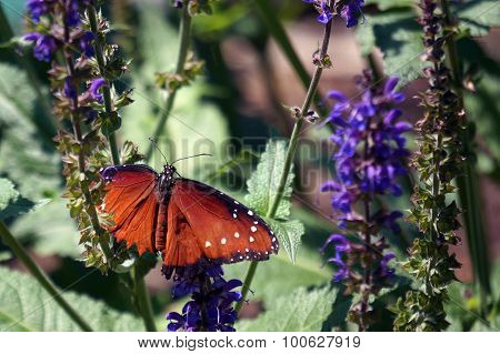 Queen Butterfly on Woodland Sage Flowers