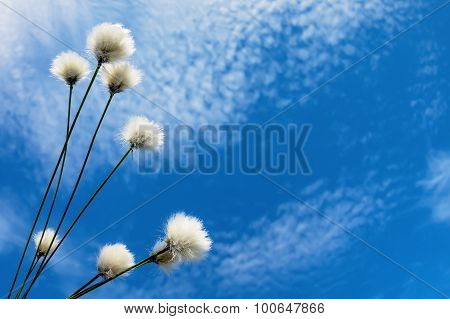 Background with cotton grass