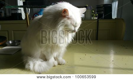 Sleepy Angora Cat