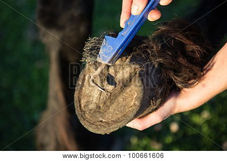 Picking A Hoof With A Hoof Pick