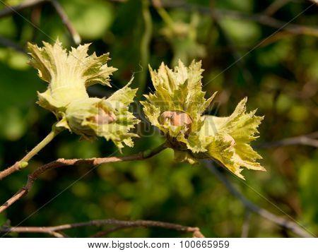 European hazel (Corylus avellana)