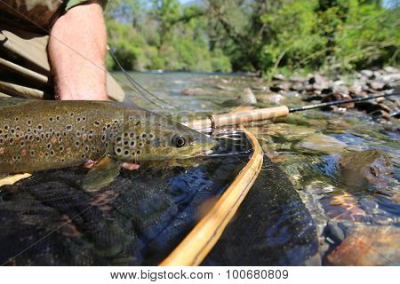 Closeup of brown trout fish caught in landing net poster