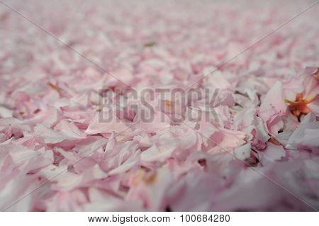 Sakura Petals On Gound