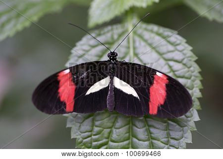 Red Postman Butterfly - Heliconius erato