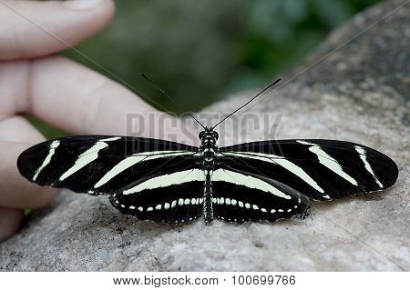 Zebra Longwing Butterfly - Heliconius charithonia
