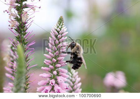 Bee on Speedwell - Eveline