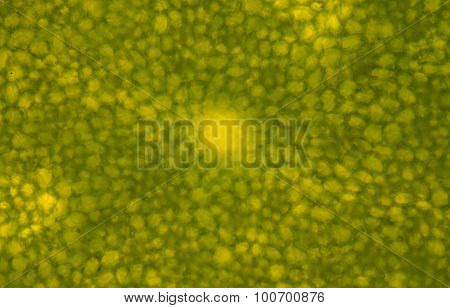 Micrograph Of Green Leaf With Breathing Cells Stomata