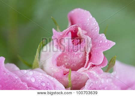 Pink Rose Bud with Dewdrops