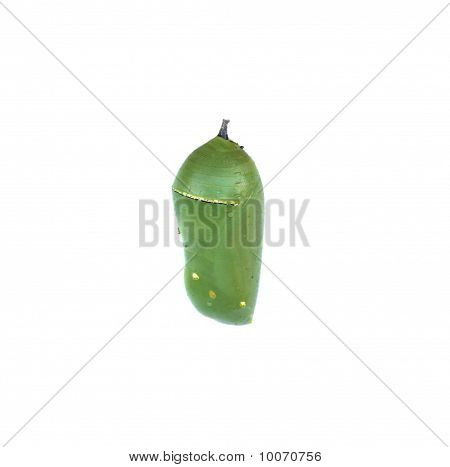 Opaque Monarch Butterfly Chrysalis