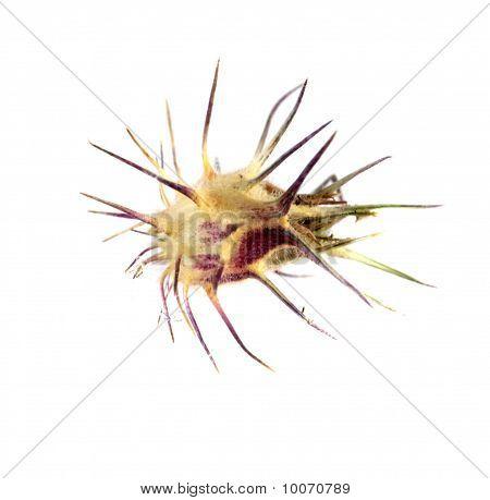 Sandbur (cenchrus Spinifex)