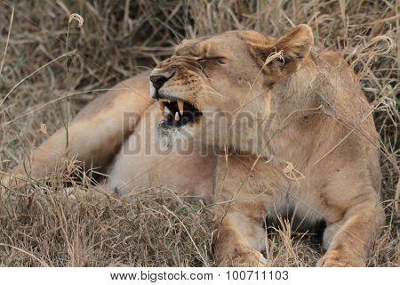 Lion Snarls