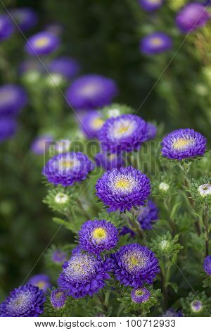 Callistephus - Bonita - Light Blue