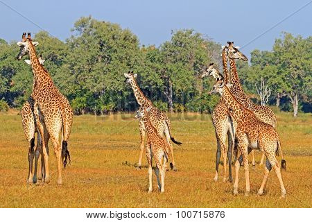 A Journey of Giraffes on the African Savannah in Zambia