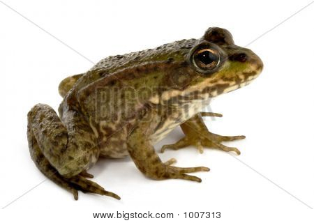 close-up shot of a green frog isolated on white background poster