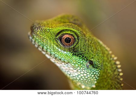 Close up detail of a green water dragon eye