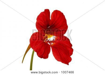 Red Nasturtium
