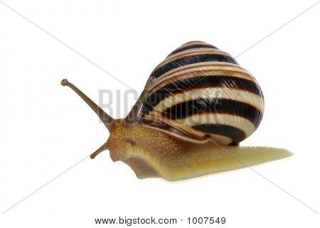 Striped Snail