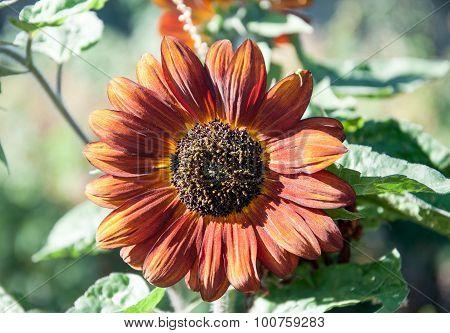 Growing Yellow - Orange Sunflower
