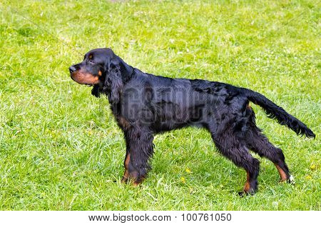 The Gordon Setter is on the grass. poster