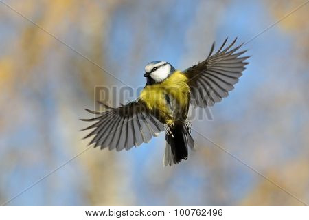 Front Veiw Of Flying Blue Tit