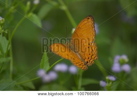 Male Common Yeoman butterfly Cirrochroa tyche on green leave. poster