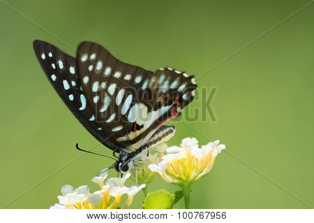 Common Jay butterfly Graphium arycles on Lantana flower. poster