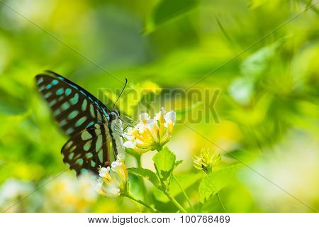 Spotted Jay butterfly Graphium arycles on Lantana flower. poster