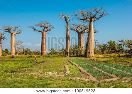 Fields Near Baobabs Avenue