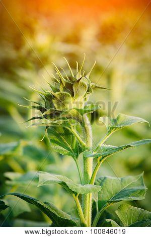Bud sunflowers