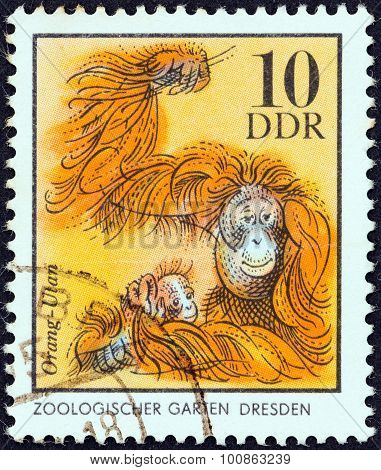 GERMAN DEMOCRATIC REPUBLIC - CIRCA 1975: A stamp printed in Germany shows orangutans