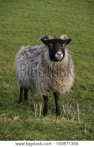 Horned sheep with black head and legs